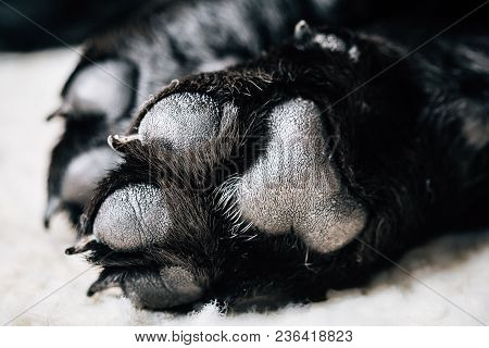 Dog Labrador Paw With Pads On A Light Carpet. Black Labrador Puppy Sleeping In Her Bed