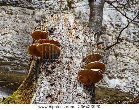 Big Brown Mushrooms On A Tree Near Saut Du Doubs Waterfall In The Region Of Doubs Border France Swit