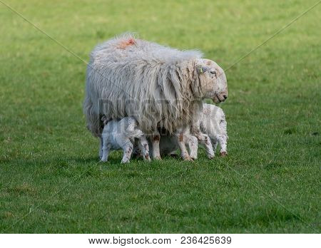 New Baby Lambs Feeding With Their Mother