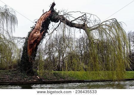 Bended And Carved Tree Touching River Water On Cold Weather Day