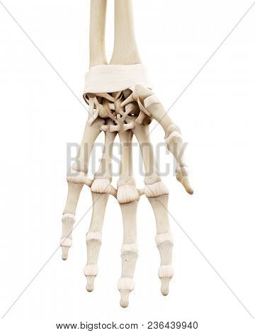 3d rendered medically accurate illustration of the human skeletal hand