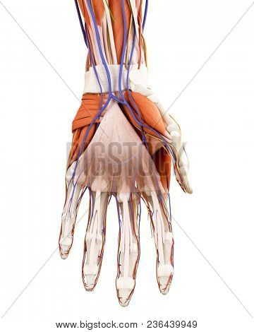 3d rendered medically accurate illustration of the human hand anatomy