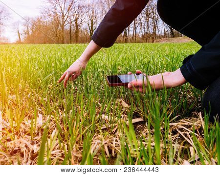 Young Agronomist Agriculture Woman Biologist Inspecting The Wheat Plant Harvest On A Warm Spring Day