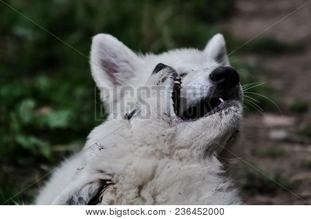 Two Baby White Wolfs Playing In Open Nature