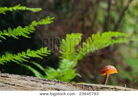 Common Rustgill Gymnopilus penetrans on the tree. poster