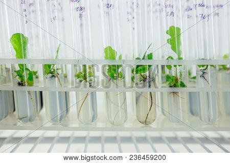 Micro Plants Of Cloned Oak With In Test Tubes With Nutrient Medium. Micro Propagation Technology In