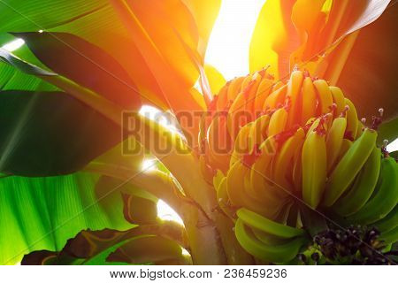Banana Trees With Fruits And Flower In Lush Tropical Garden
