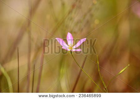 Marsh Pink Wild Flower Sabatia Grandiflora Blooms In The Wetlands Of Immokalee, Florida