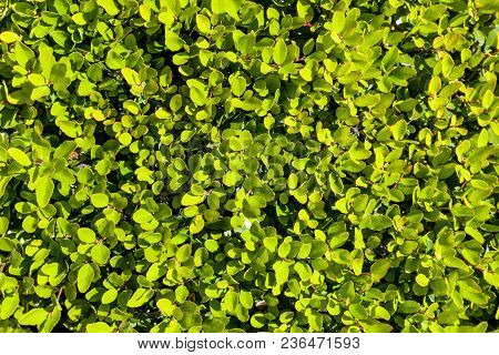 Background With Lush Bright Green Vegetation Evergreen Bush Background