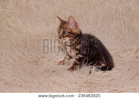 Cute Bengal Kitten Is Sitting On A Fur Blanket. One Month Old. Pet Animals.