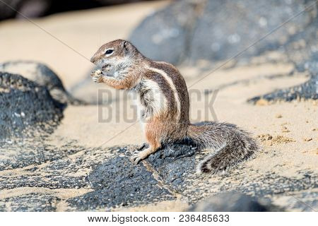 ground squirrel with blurred background