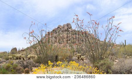 Arizona desert blooming in Springtime, butte with wildflowers framed by blooming ocotillo located near Scottsdale.
