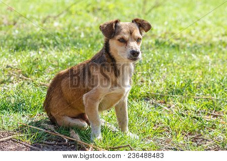 Homeless Dog. A Homeless Cute Brown Dog Walks In Nature. A Dog Resting On The Lawn. Cute Little Dogg