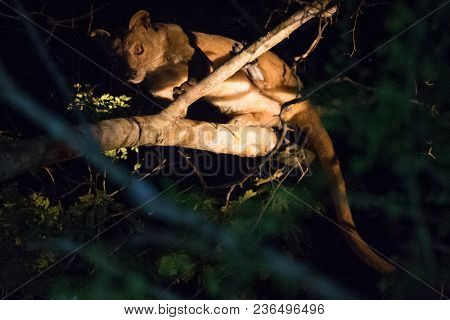 Fossa (Cryptoprocta ferox), cat-like, carnivorous mammal endemic to Madagascar, Fossa is biggest pre