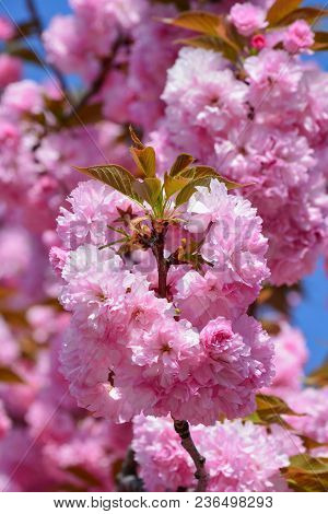 A Large Cluster Of Japanese Cherry Blossoms In Foreground And Blue Sky And Blurred Sakura Flowers In