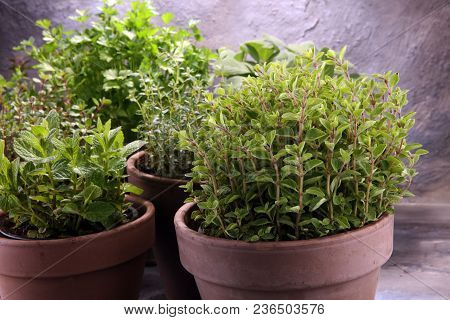 Homegrown And Aromatic Herbs In Old Clay Pots
