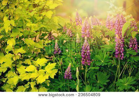 Lupine Flowers Blooming In Summer Garden With Yellow Ninebark Bush