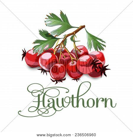 Bright Juicy Hawthorn On Grey Background. Sweet Delicious For Your Design In Cartoon Style. Vector I
