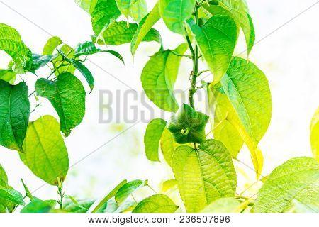 Plukenetia Volubilis Tree With Seed, Commonly Known As Sacha Inchi, Sacha Peanut