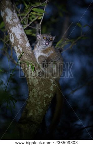 Ankaran Sportive Lemur, Lepilemur ankaranensis, a rare endemic lemur is nocturnal, in the reserve Tsingy Ankarana, Madagascar poster