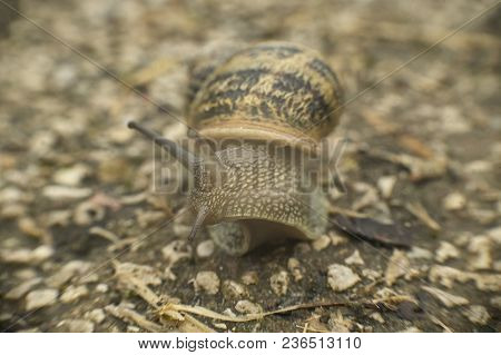 Snail Coming Out Of The Shell