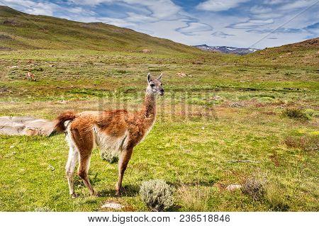Guanako, Patagonia, South America Chile Chile Llama (lama Guanicoe)