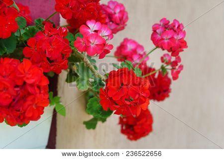 red pelargonium flowers