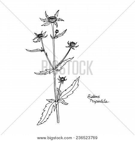 bur-marigold, ink drawing medicinal plant, monochrome botanical illustration in vintage style, isolated floral element, hand drawn illustration poster