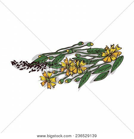 Isolated Clipart Of Plant Ramtil On White Background. Botanical Drawing Of Herb Guizotia Abyssinica