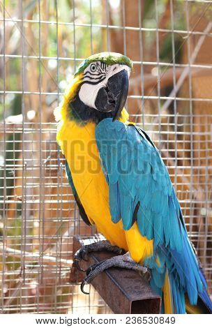 large blue and yellow parrot, ara ararauna, sitting in an aviary, looking into camera poster