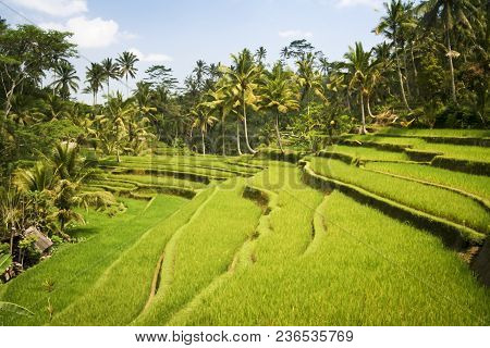 Lush Green Terraced Rice Fields Surrounded By Palm Trees Ubud Bali