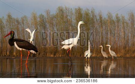 beautiful wild birds on a lake: black stork,  great white egret,  grey heron lake, black headed gull, night egret, duck
