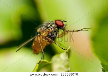 Male Common Fruit Fly ,drosophila Melanogaster. Fly Siting On A Plant In Nature