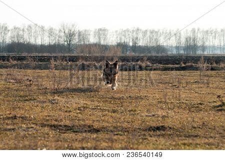 Dog Mutt Runs Towards The Field, Happy Dog