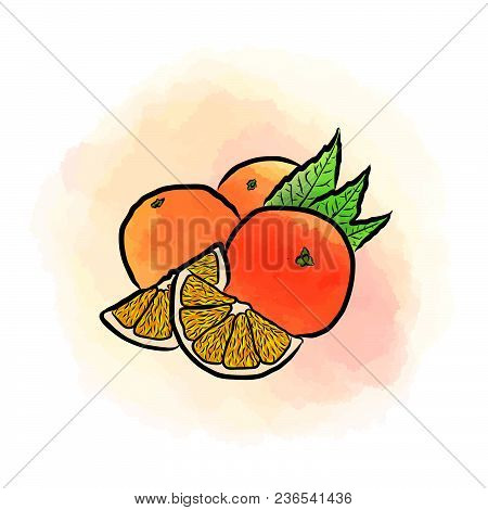 Colored Drawing Of Oranges. Fresh Vector Design Of Colorful Fruits Made In Watercolor Style. Vector