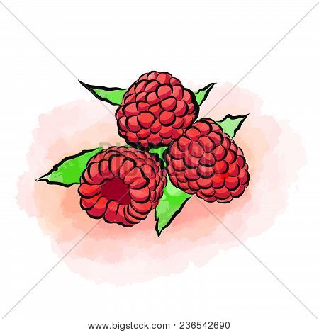 Colored Drawing Of Raspberries. Fresh Design Of Colorful Fruits Made In Watercolor Style. Modern Mar
