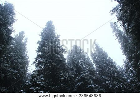 Cloudy Day In Forest With Tall Firs. Fur-trees In Forest In Fog. Fir Forest In Morning Fog. Fog In S