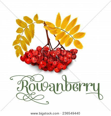 Rowanberry, Leaves And Berries Isolated On White Background. Vector Illustration.
