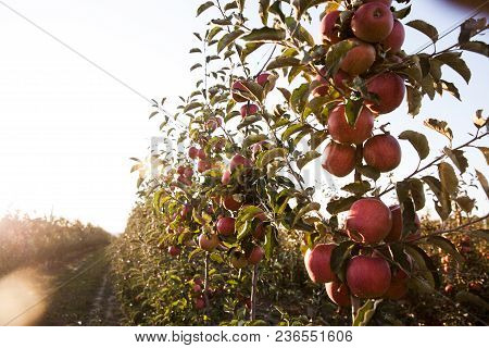 Young Tree In A New Apple Orchard A
