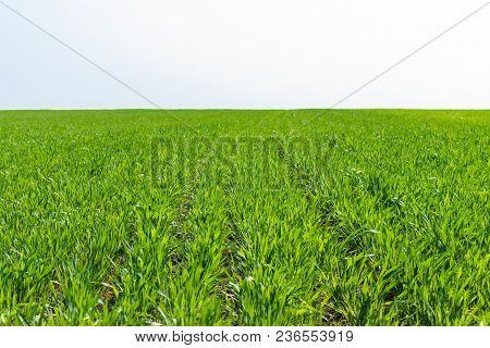 Young Wheat Field On Sunny Day In Spring.