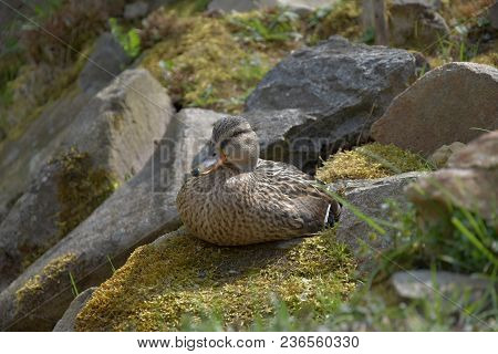 Anas Platyrhynchos, A Wild Duck Sits On A Moss-covered Stone
