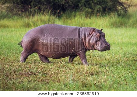 Hippo On The Run On Land In The Masai Mara National Park In Kenya (hippopotamus Amphibius)