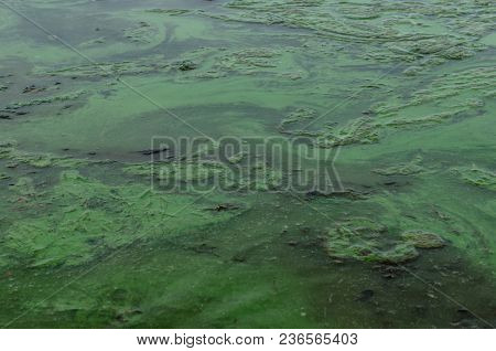Green Algae Pollution On A Water Surface