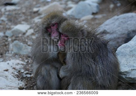The Japanese Macaque, Also Known As The Snow Monkey, Is A Terrestrial Old World Monkey Species That