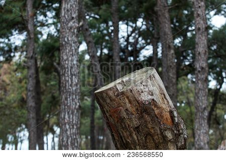 Cut Big Tree Trunk In The Forest.