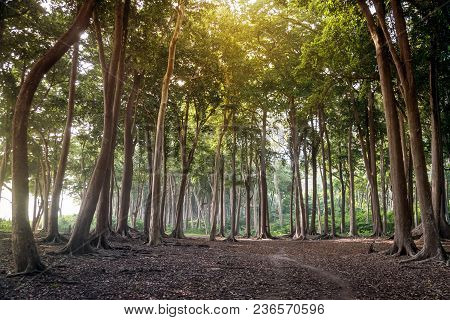Beautiful Lush Forest. Havelock Island Andaman And Nicobar Islands. Tall Trees In Sunlight. Amazing