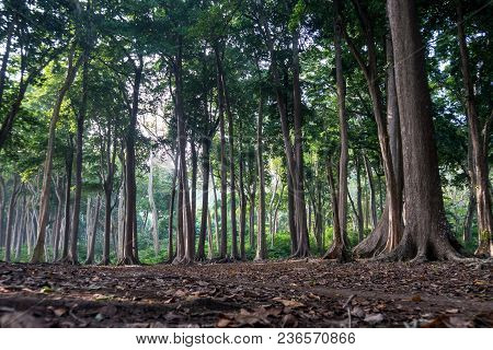 Ancient Tree Roots In Beautiful Forest. Amazing Trees Of The Jurassic Period. Tall Tree Trunks With