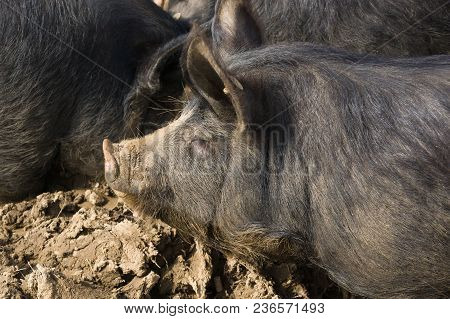Berkshire Black Pigs An Old Rare British Breed Which Is Also Bred In Japan Kagoshima Province As The