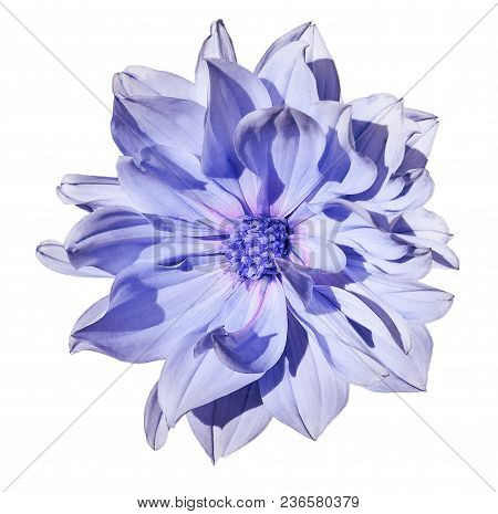 Dahlia  Light Blue Flower  On An Isolated White Background With Clipping Path. Closeup. No Shadows.