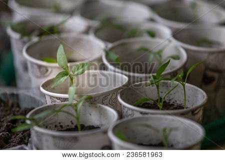 Spring Seedlings. Young Shoots. Saplings In Plastic Cups. Small Pepper Plants